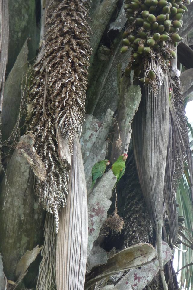Red-crowned parakeets seen in San Vito