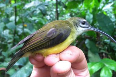 Picture of Little Spiderhunter, one of the study species from the article.